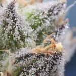Image for the Tweet beginning: #cannabis #marijuana #weed DSM city