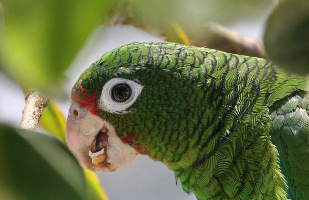 Here's the first Puerto Rican parrot that has flown out of a nest at El Yunque National Forest since before hurricanes Irma and Maria. Just like the people of #PuertoRico, these birds are super resilient! Video: https://t.co/CVgpmUWuJd  @forestservice @NFWFnews @paralanaturalez https://t.co/ZFyUyr39Vo
