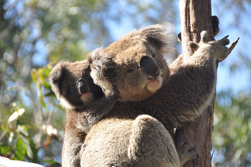 RT @GlobalCentreLBI: Research led by @BlinkyBenjy  @westsyduhie & Dr Michaela Blyton has found that faecal transplants can safeguard the future of koalas by altering gut bacteria, helping them adapt to new food sources: https://t.co/QrXT1S9hFk https://t.co/xu5zSSfsot
