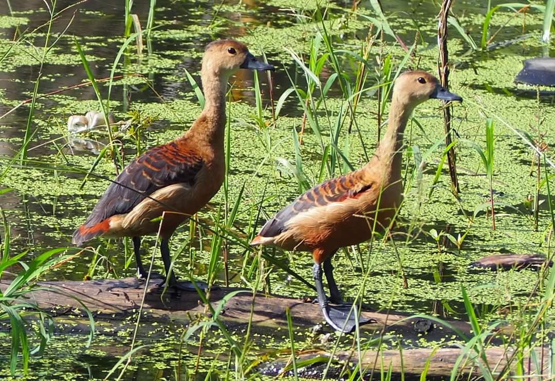 Name- Lesser Whistling Duck Location- Corbyn's Cove DOP- 25-June-2020 #NatGeoWild #yourshots #birdphotography #birdwatching #BirdTwitterpic.twitter.com/uBr7p1WM1v