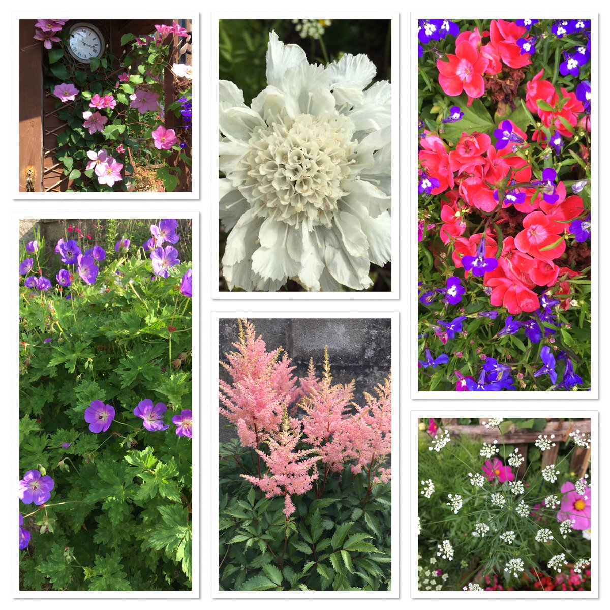 #sixonsaturday Clematis, scabious, lobelia, hardy geranium, astilbe, ammi majus