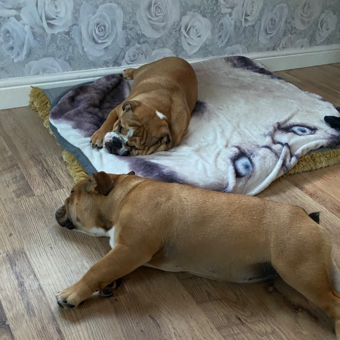Goodnight peeps and paws   @dogs_retweet #englishbulldog #Bulldogs #dogs #DogsofTwittter #follow4follow #bedtime #tired #SaturdayNightpic.twitter.com/1RB8djmIb1