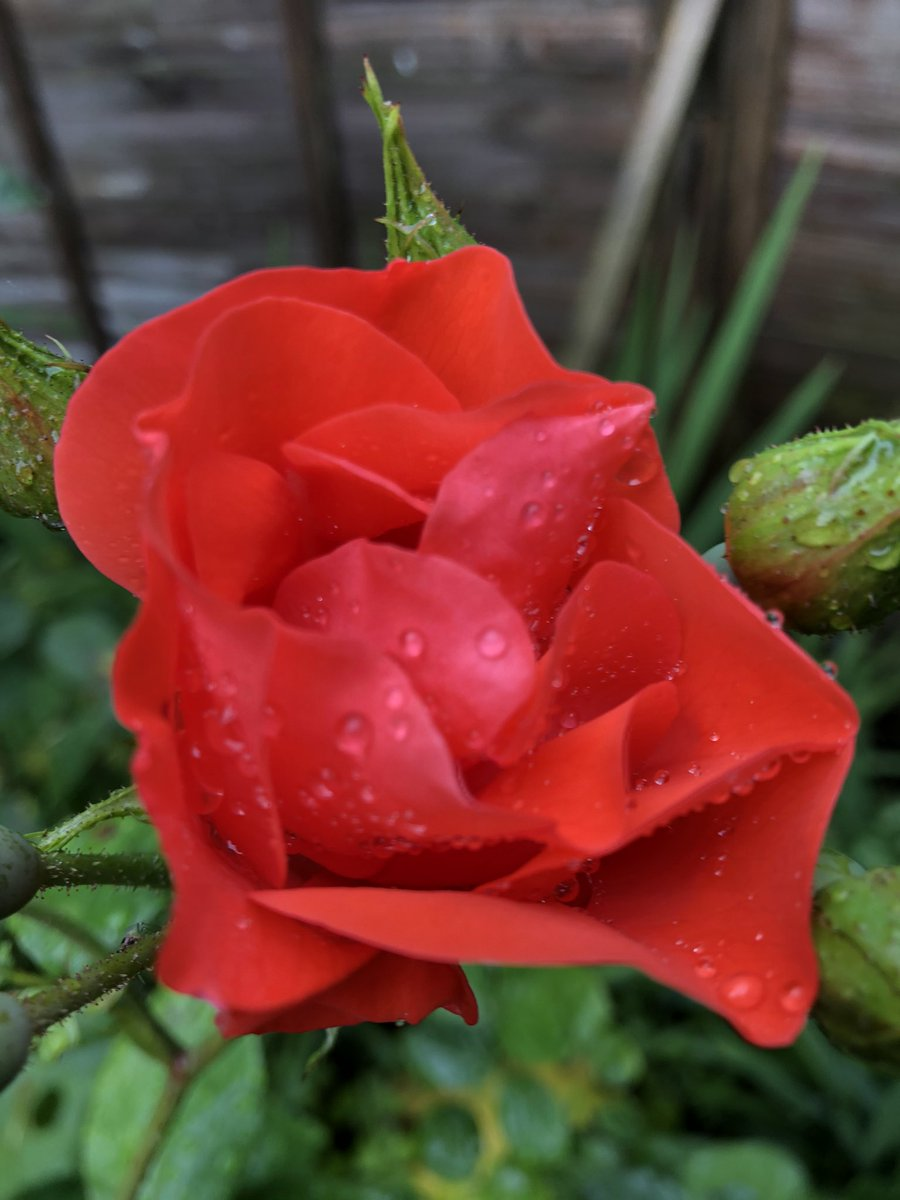 Something to brighten up a cloudy rainy day #rose https://t.co/bfqNJbnNP6