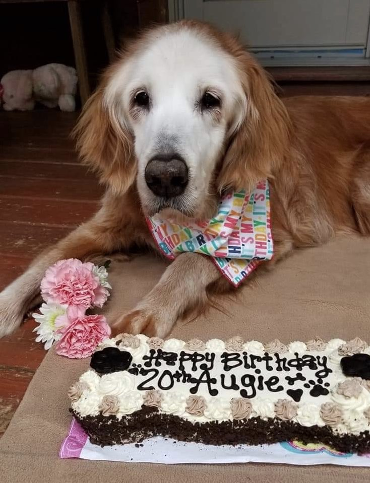 This is August. She was born on April 24, 2000. That's right, she just turned 20, making her the oldest known golden retriever in the world. She's received so many good girl noggin pats over the years her color has been rubbed off. We're giving Augie the incredibly rare... 15/10 https://t.co/6QMNNn3aqA