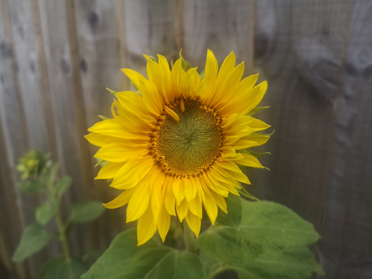 @redwellyfeats look who finally popped out today! #sunflowerchallenge