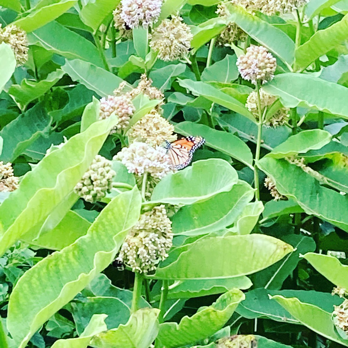 First monarch of the season in my garden! @BCPSOutdoorSci