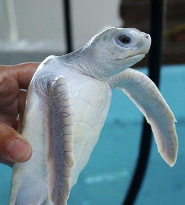 メキシコのウミガメ保護センターにいる幻の【白いウミガメ】がヤバイ綺麗