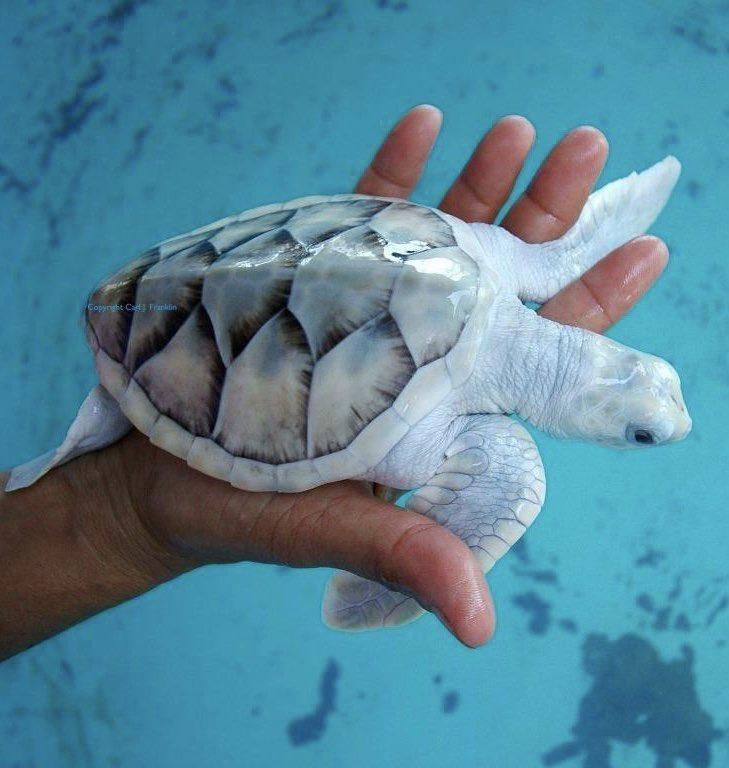 メキシコのウミガメ保護センターにいるのは白いウミガメ!?綺麗で可愛い!!