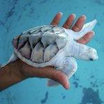 メキシコのウミガメ保護センターにいるのは白いウミガメ!?綺麗で可愛い!