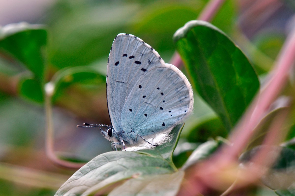 Saw my first summer brood Holly Blue yesterday in my garden in Oxford, and it's still only June https://t.co/stHfnHvkRL - has anyone else spotted one yet this summer? @UpperThamesBC @savebutterflies @ukbutterflies @WildOxfordshire @BBOWT @TVERC1 https://t.co/xxoEq8qGC1