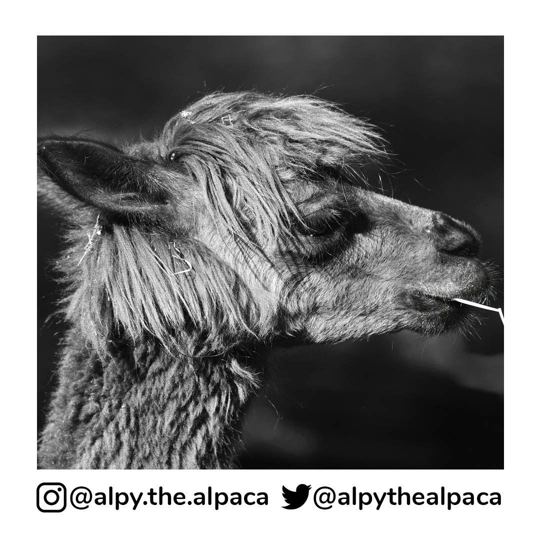 Alpakahofstocker Instagram Posts Photos And Videos Picuki Com