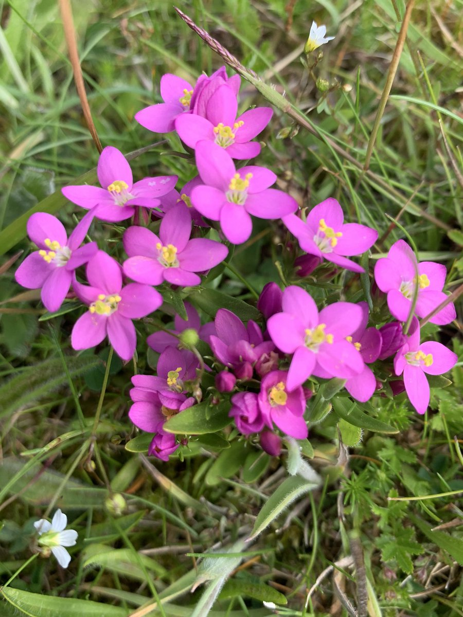 Seaside Centaury and Common Centaury #wildflowerhour https://t.co/QfB69is3ac
