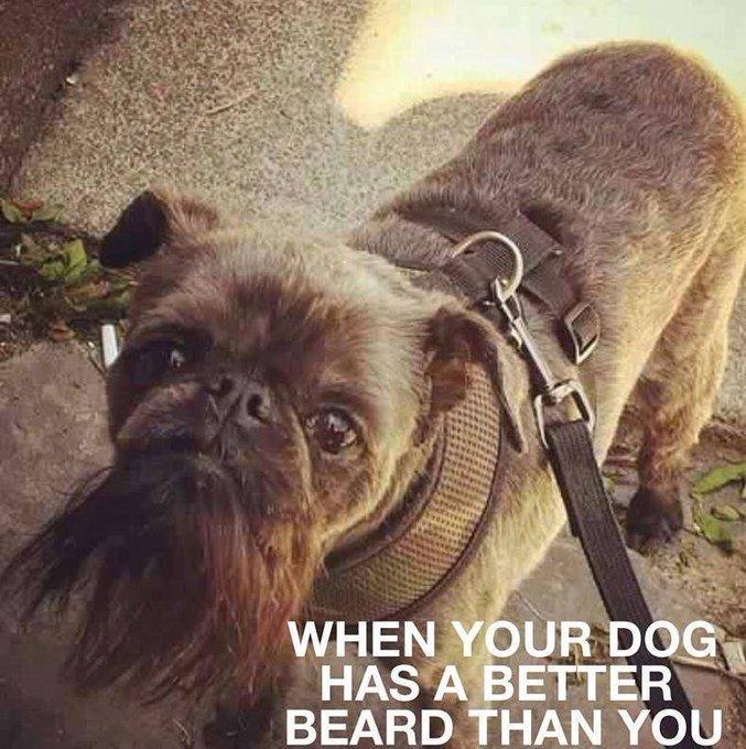 When Your Dog Has A Better Beard Than You. #Bearded #DogWithABeardpic.twitter.com/8TB2rAlmyJ