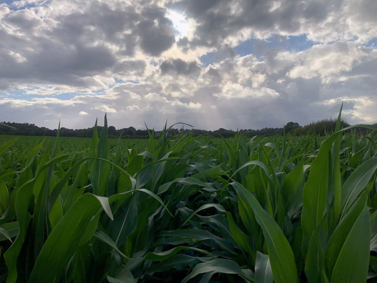 Maize now chest high, pushing on, 10mm of rain yesteday will help. @djchalk @Bright_Seeds