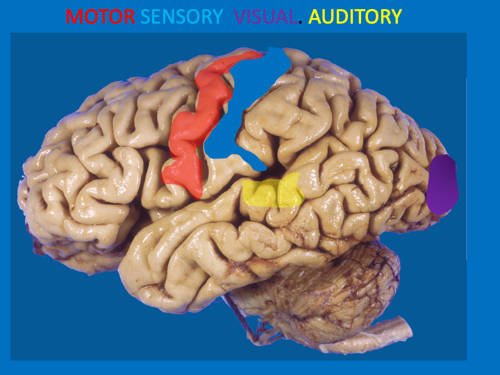 Aaron Berkowitz On Twitter If You Can Identify 4 Regions Of Cortex 1 Motor 3 Sensory You Can Deduce The Rest By What They Lay Between 4 Regions Motor Cortex Precentral Gyrus Somatosensory Cortex Postcentral The primary sensory area of the cerebral cortex; motor cortex precentral gyrus