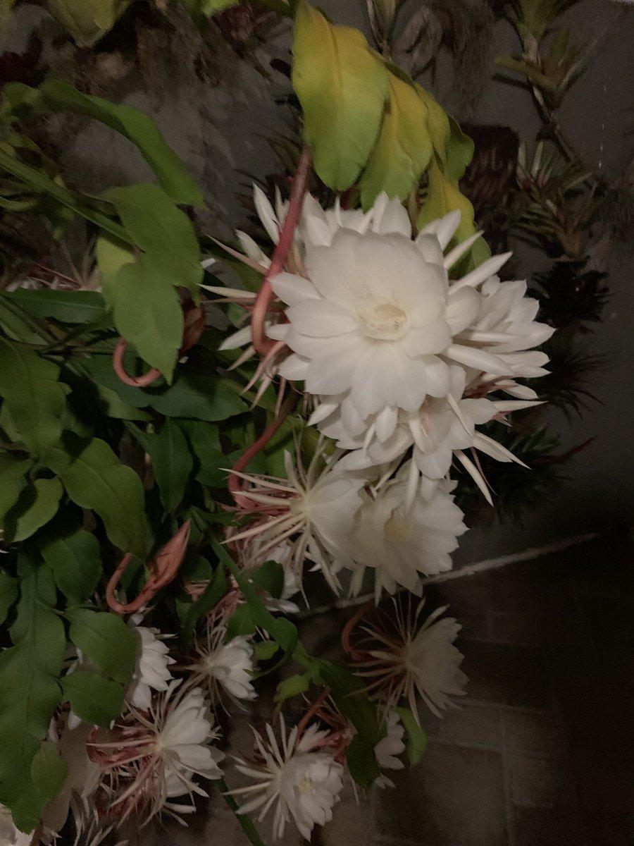 Mis Damas de Noche, hoy florearon más de 64 💕 la naturaleza es perfecta https://t.co/un4SnyGg1I
