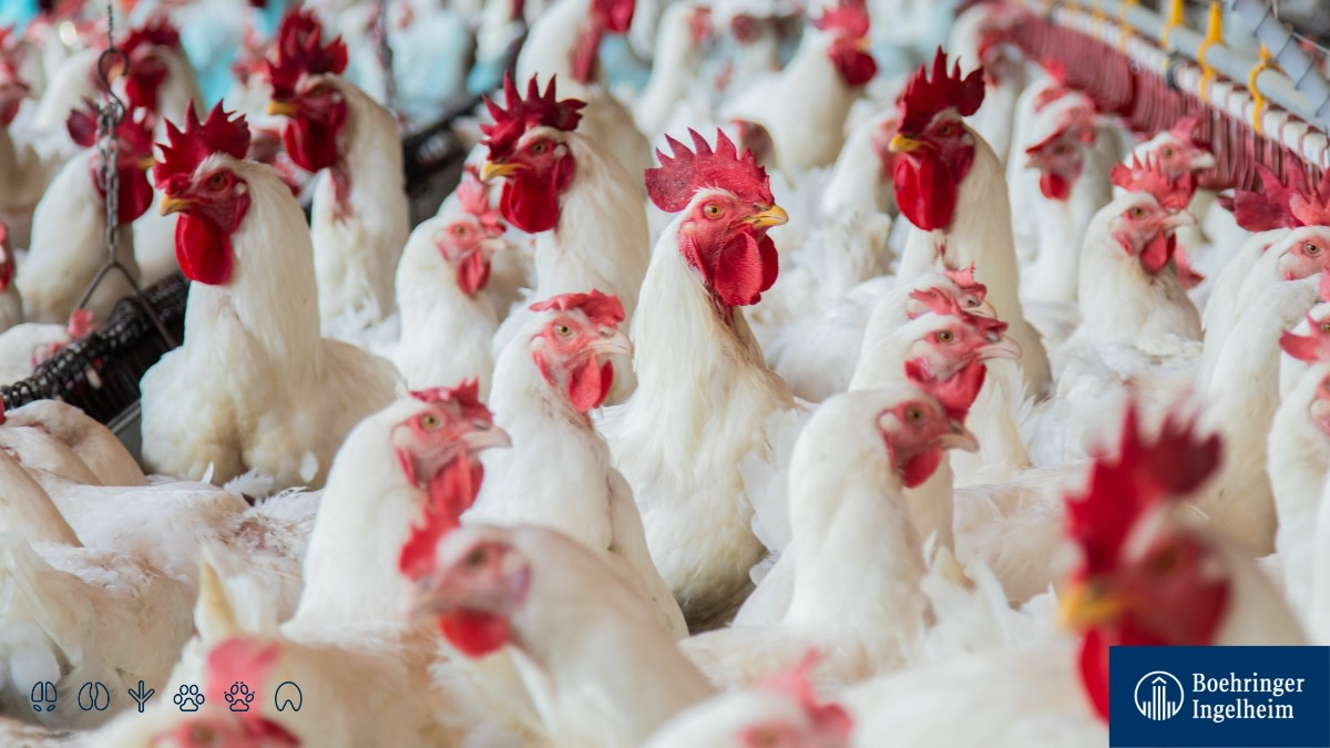 """🗣📢 Hello, #poultry community! How about a free #webinar to recycle, exchange and update your knowledge on #AnimalHealth?!  🐣 What: """"How to control mycoplasma in poultry flocks?""""  ⏰ When: July 1, 6 am (CDT).  Register now: ➡ https://t.co/afI7q9l73Q https://t.co/1J2ux0S44S"""