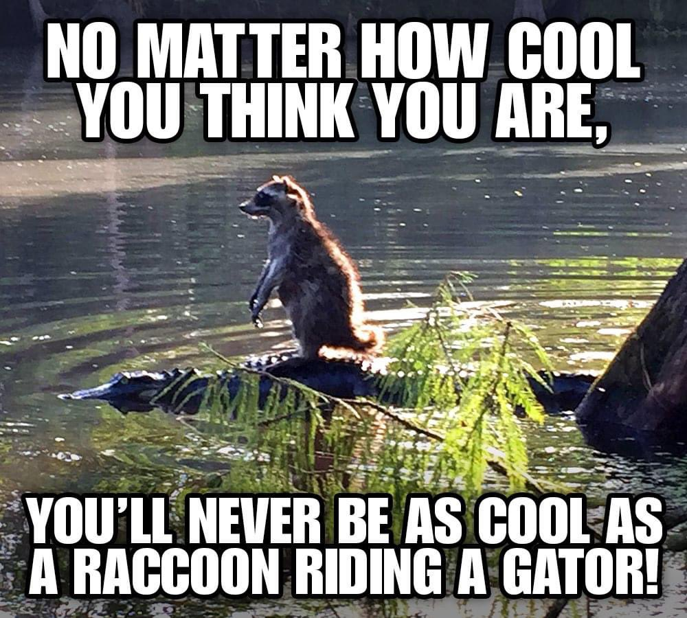 """How cool is this raccoon? Let's just hope he didn't end up in the """"fryin' pan"""" for taking a ride on the wild side! #evergladesholidaypark #gatorboys #alligator #reptiles #reptilesofinstagram #raccoon #wildlife #nature #florida #everglades #animals #memes #animalmemes pic.twitter.com/g6Db8hIRK7"""