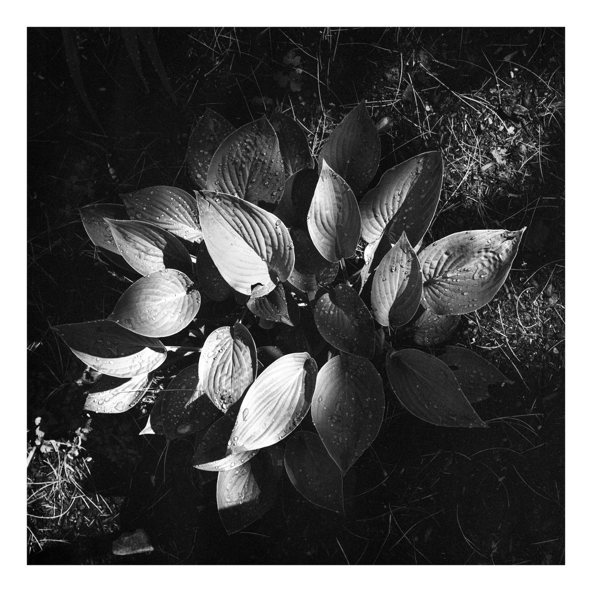 #MonochromeMonday After the rain falls...a raindrop covered plant in Odell Park. (Intrepid 4x5 mk3, Fujinon 150mm 5.6, f32 1/15 Bergger Pancro 400) . #filmphotography #filmisnotdead #largeformat   #3leggedthing #Fredericton #blackandwhite #nature #staybrokeshootfilm #analoguepic.twitter.com/C574Mw1lNP