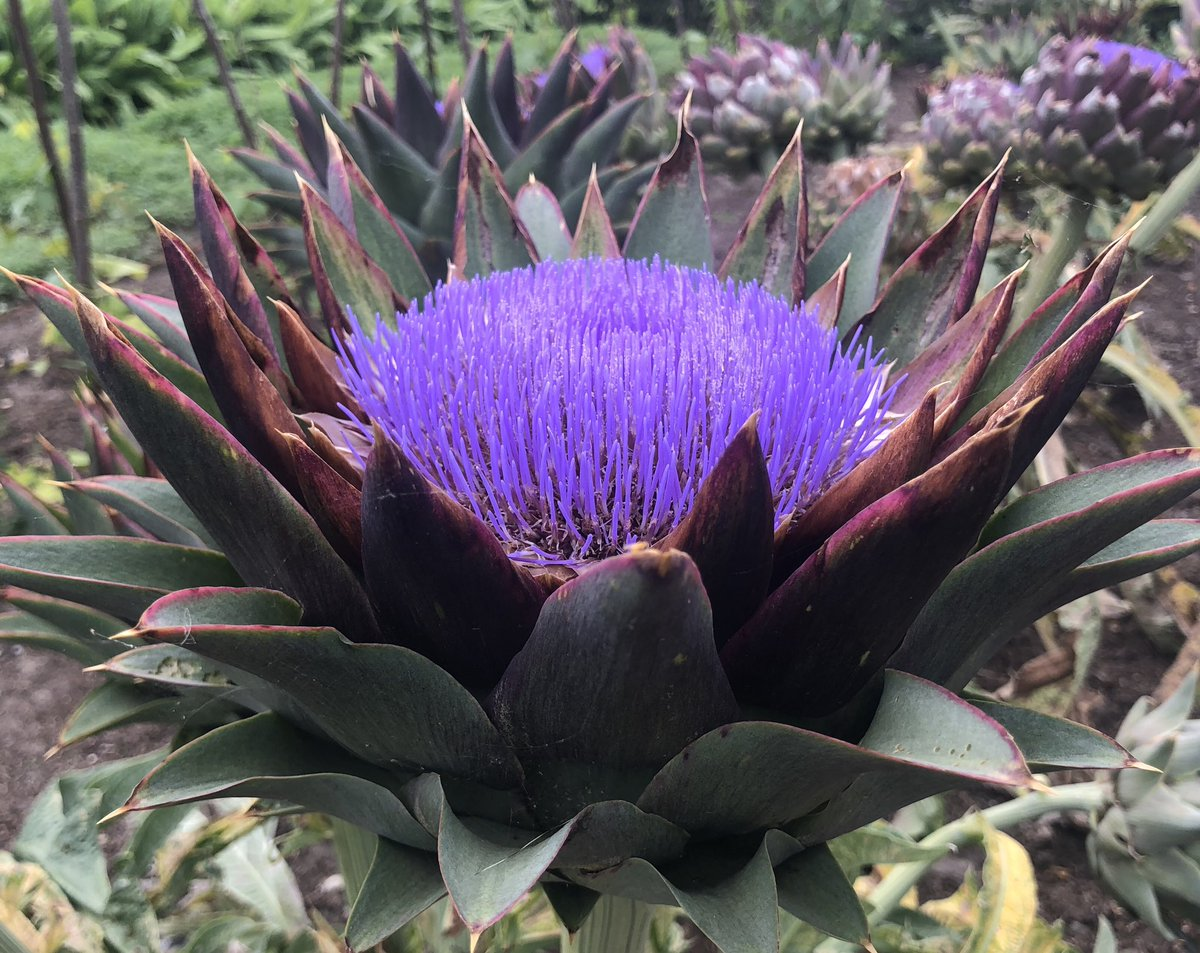 The incredible globe artichoke 'Violet de Provence' in the vegetable garden @RHSWisley stopped me firmly in my tracks today! 😲😲
