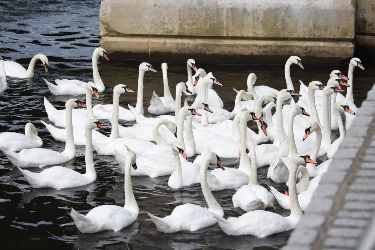 Mute swans (between 70-100 altogether)being fed at #kingstonuponthames riverside #NaturePhotography #thamespathnt #birdphotography #nikonphotography #swanwatchpic.twitter.com/TqLXHFE6YN