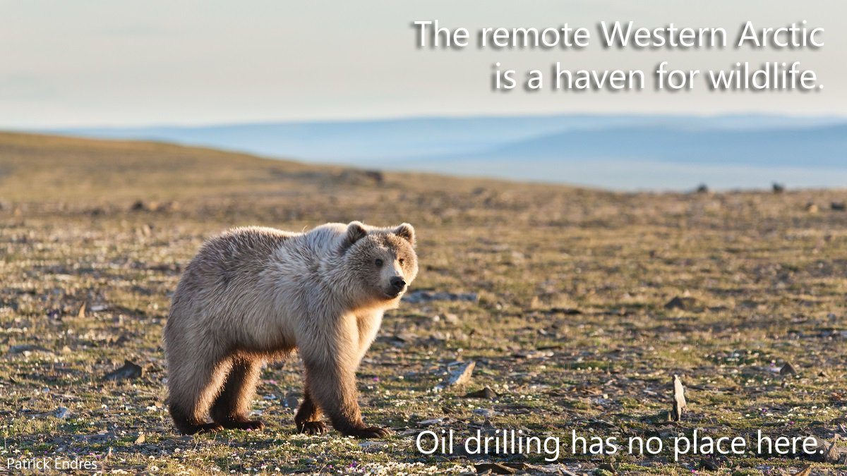 The Trump admin abandoning the science-based, common sense Western Arctic management plan in favor of oil and gas interests is short-sighted and places local Indigenous communities and the region's diverse wildlife at risk. alaskawild.org/wp-content/upl… #ProtectTeshekpuk #KeepItSpecial