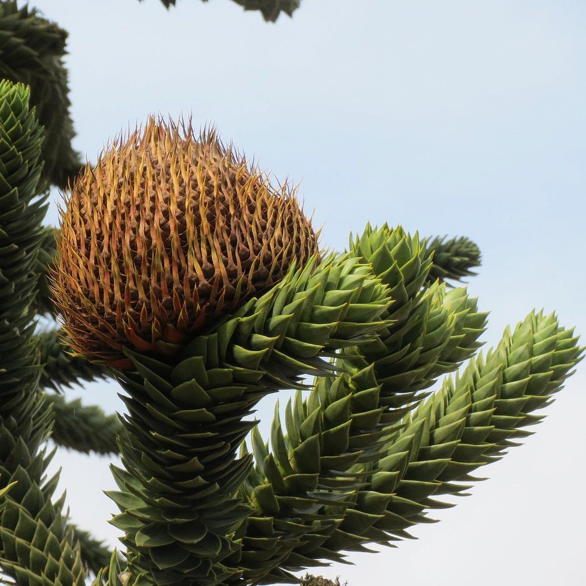 CONIFERS! The most flamboyant of all, the Monkey Puzzle Tree 🐒 🧩 Often called a living fossil, sadly now endangered. Listen to our latest podcast episode, where we chat to @Matthew_Pottage of @RHSWisley, he's the King of Conifers! 🌲podcasts.apple.com/gb/podcast/the…