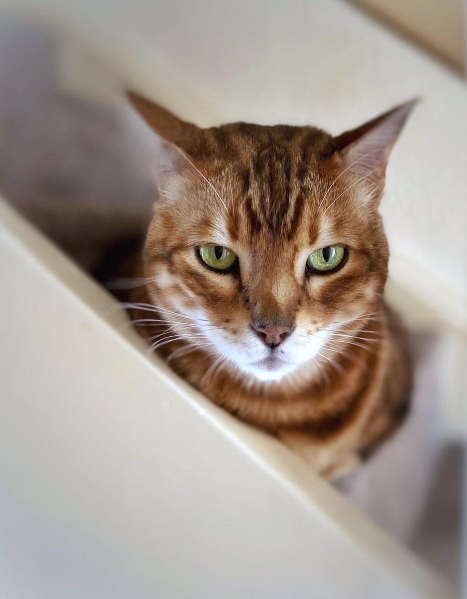 I am not amused   #catsoftwitter #cat #bengalcat #diabetic #specialneeds #feline #teambengal #photograghy #beautifulcats #catoftheday #bengalpic.twitter.com/RZMhCByT4G  by Laney BK Ⓥ 🌱