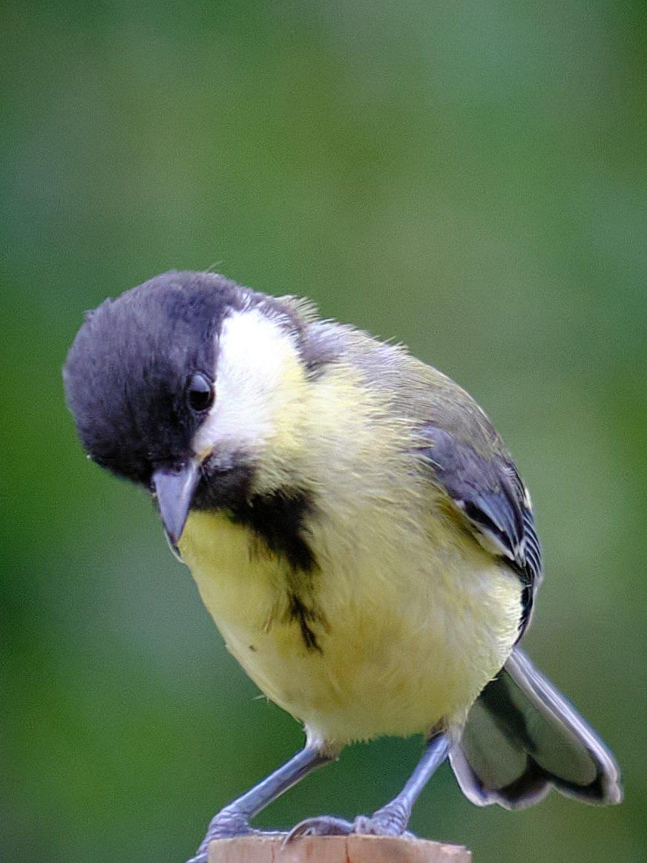 Cute great tit #NaturePhotography #wildlife #Photography #nature #photos #fujifilm #birds #garden #birdwatching #TwitterNatureCommunauty #naturelovers #wildlifephotography #birdphotography pic.twitter.com/tyeDFnE2nu
