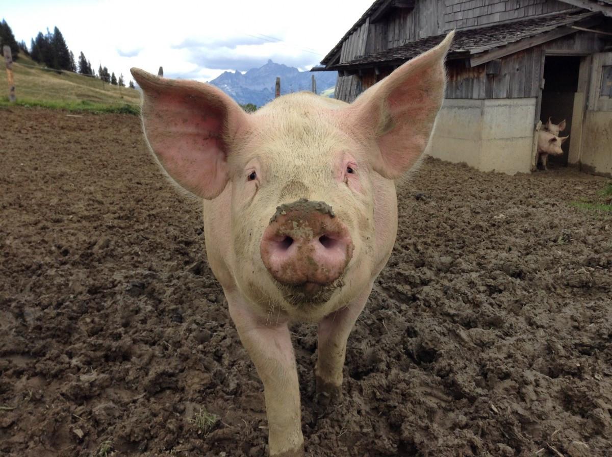 🐷😷😱Advierten de nueva y contagiosa gripe porcina https://t.co/CdRFgN8jnU https://t.co/9XHCa1A6Yl