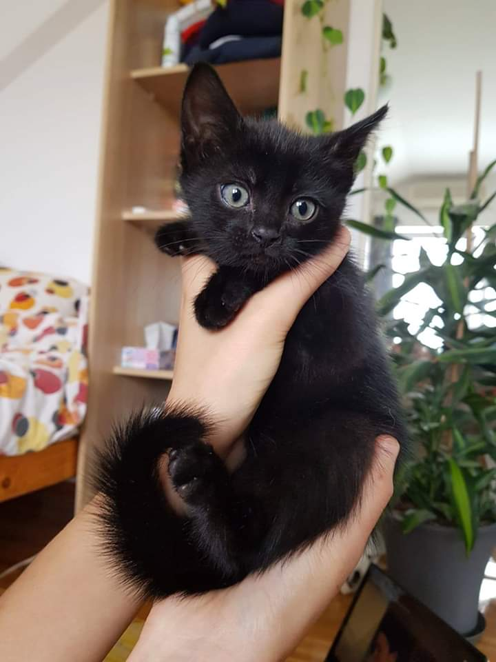 This 2 month old beauty is looking for a home!! Girl, full of love, a true panther with a shiny coat... #AMOS #AMOSShelter #animalshelter #blackcat #sheltercat #lookingforahome #AdoptDontShoppic.twitter.com/mTFXJ9BtYh