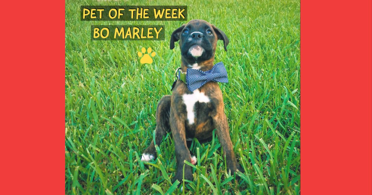 PET OF THE WEEK!  This week we chose Bo Marley, a very smart one-year-old Boxer who loves to cuddle. : Ashlee Henderson Do you want your pet to be chosen next? Share a photo with us by texting PETS to 44332 and tell us what makes your pet so special. #petoftheweek #instadog pic.twitter.com/gKDek6Z41j