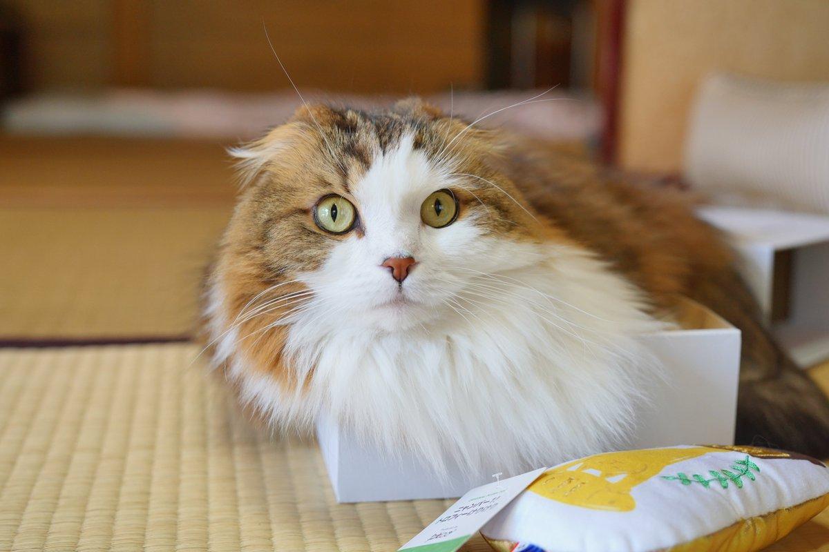 毎月、pecobox(の箱)を楽しみにしている猫  #pecobox #猫 #スコティッシュフォールド https://t.co/SX4ur4d42A