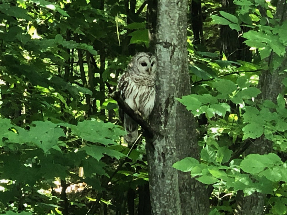 Look who came to the cottage today! A beautiful Barred Owl. #cottaging #Ontario