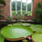 Image for the Tweet beginning: Giant water lily returns to
