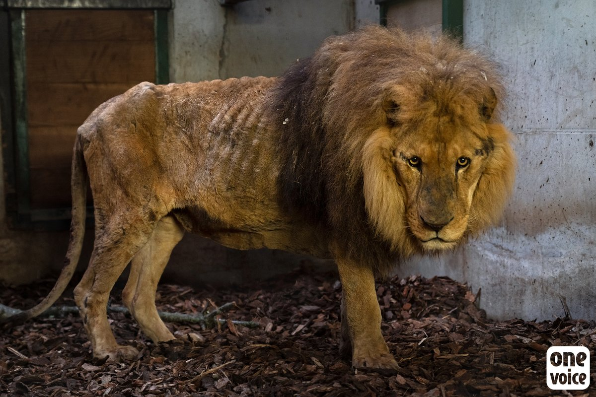 Since being rescued from a circus by One Voice and Natuurhulpcentrum, Jon has really perked up. We are very hopeful with the progress he is making so far. Help us ban wild animals in circuses in France: bit.ly/2RJYiVl 📷 @onevoiceanimal @NHCopglabbeek