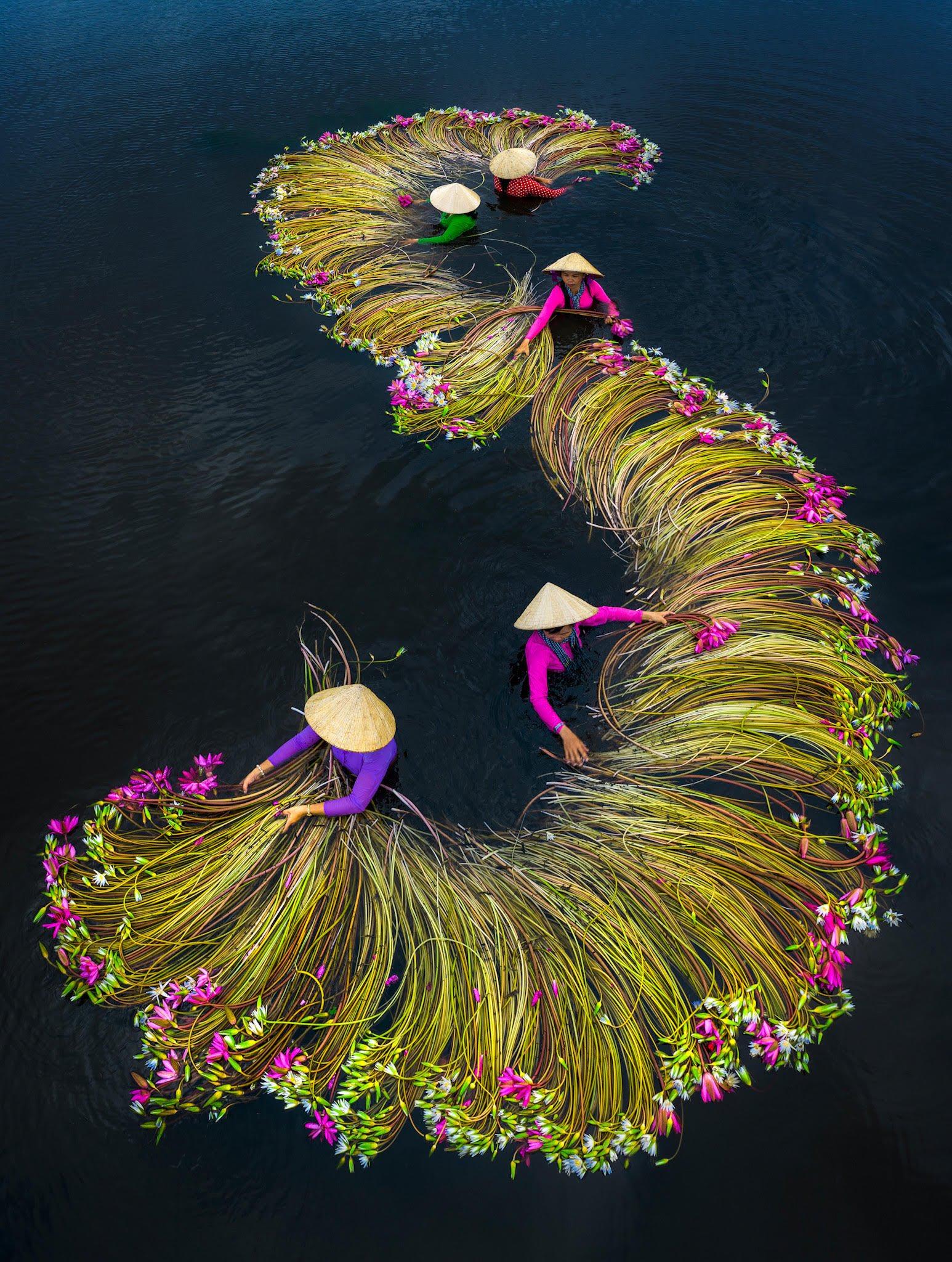 imagen cosecha anual de nenúfares en Vietnam EbwD26iXkAAmJaS?format=jpg&name=large