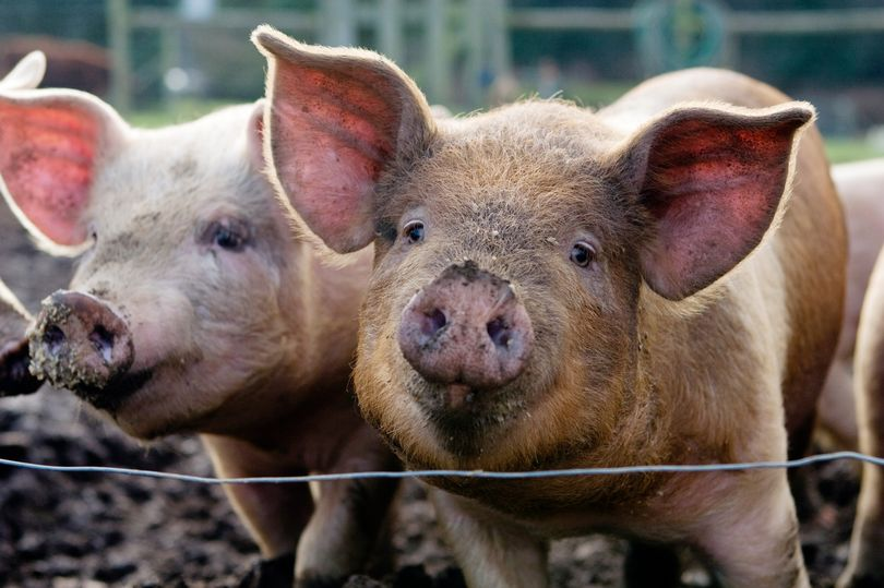 'No imminent risk of new pandemic' as new virus is found in pigs, expert claims