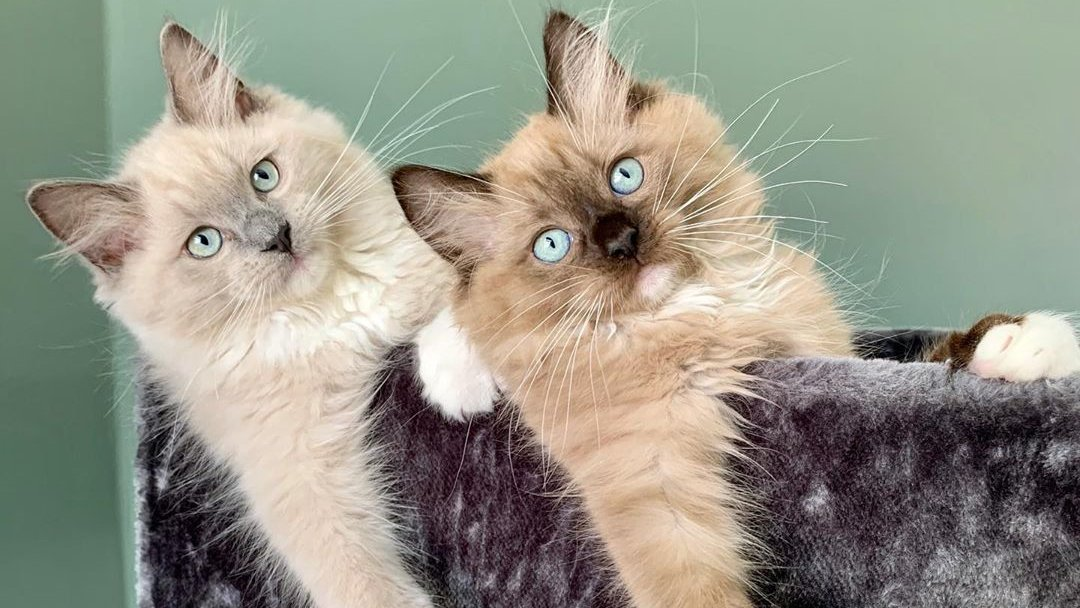 Hi, we are brothers. Say something for us.  #RagdollCats #ragdoll #CatsOfTwitter #cats #Kittens <br>http://pic.twitter.com/rsW1Kk5JJg