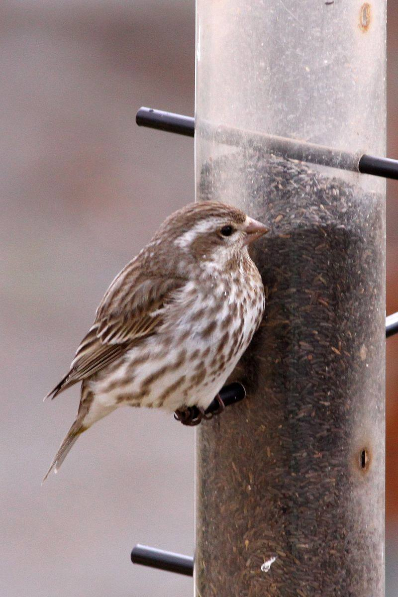 test Twitter Media - Note the plain face of the female House Finch as compared to patterned face of the female Purple Finch. The female House Finch has a longer tail and a curved culmen (upper beak) versus the short-forked tail and straight culmen of the female Purple Finch. https://t.co/L6YoW749rT