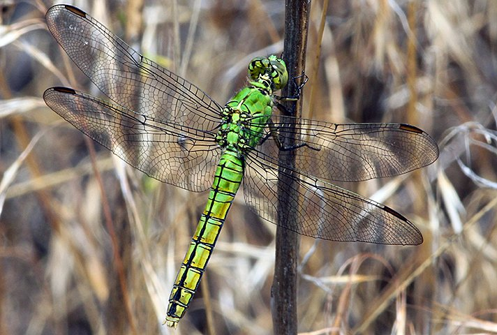 As the hot weather kicks in, wetlands across the country are alive with dragonflies and their relatives, damselflies. One way to tell them apart: When at rest, a dragonfly holds its wings open, like this Western pondhawk. A damselfly closes its wings. Photo by Gordon Warrick https://t.co/ylkEUJBTTU