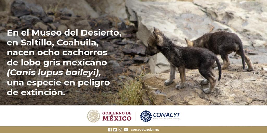 Nacen crías de lobo mexicano en el Museo del Desierto