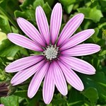 Osteospermum Purple Stripe, I could look at those petals all day 😍#flowers #gardening #petals