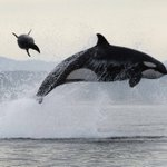 Image for the Tweet beginning: Killer whale attack. [Pic: Christopher