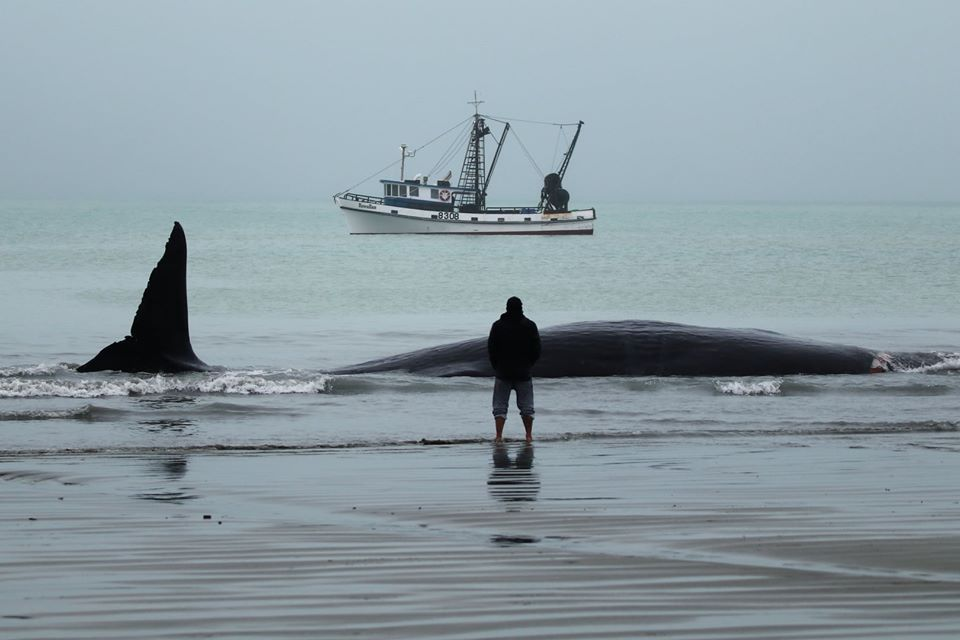 Sunday's refloat of a stranded sperm whale in Timaru, was only the third time in New Zealand that this has been successful.  Thanks again to all those involved and the wonderful community of Timaru.  Photo: Darek Przyżycki https://t.co/9HgOz5VmxL