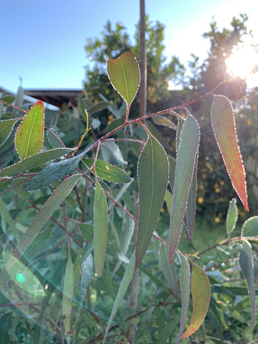 RT @jwwhale: Look at this cute #Eucalyptus parramattensis with the morning dew #eucbeaut https://t.co/qonK8MFcA3
