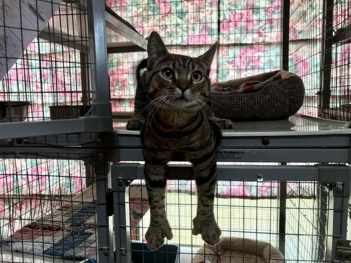 #CatOfTheDay Talkative Tyson is energetic; only a year old & is seeking an adult-only home w/someone who has time to play! Rolls to get your attention & enjoys petting & being held for a short amount of time. #Adoptable *by appointment only* at @SCARLittletonNH in Littleton #NH!pic.twitter.com/olDVEWU7WU  by New Hampshire Cats 🐱🐱🐱