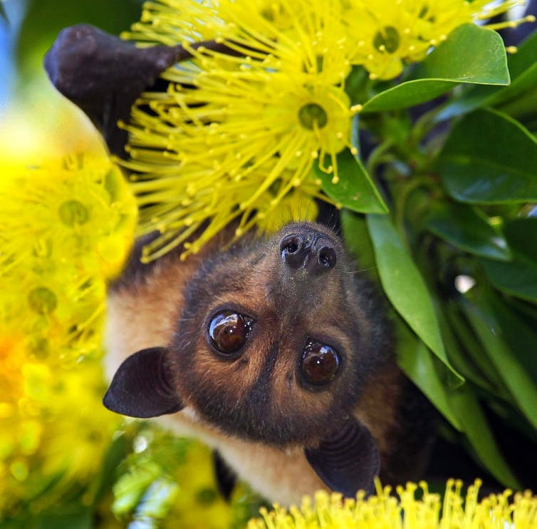 Our laws failed these endangered flying-foxes at every turn. On Saturday, Cairns council will put another nail in the coffin - @AnimalEcoLab @ConversationEDU https://t.co/sHOM5NJf8B https://t.co/SayfBmdHY9