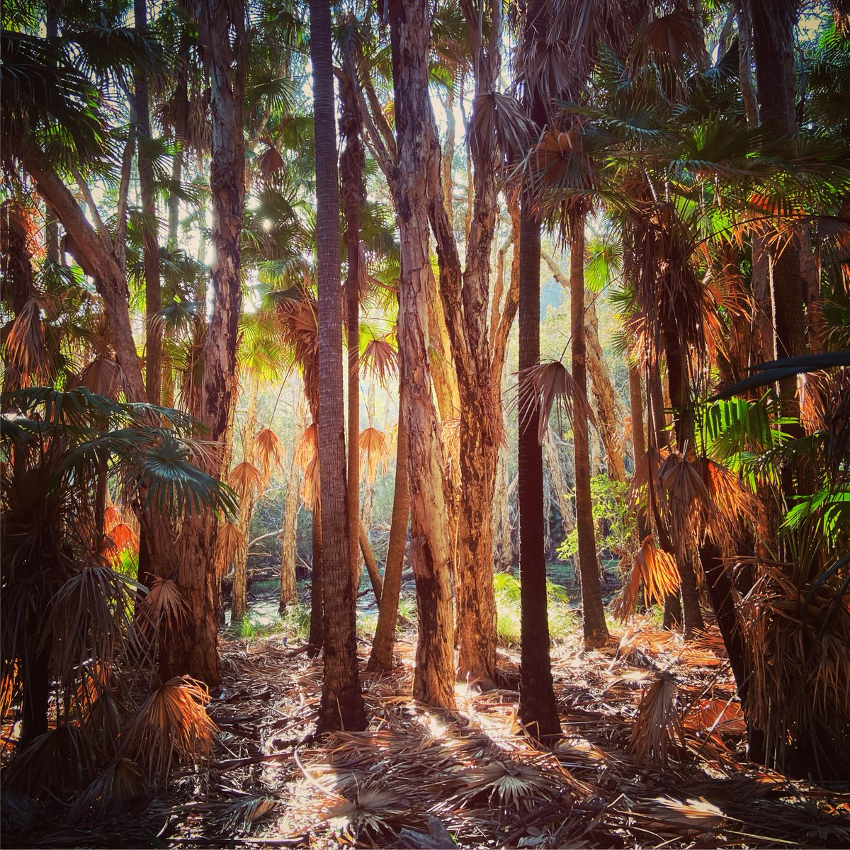 Littoral rainforest in the golden light of late afternoon. Arakoon, NSW, Australia   http://www.reddit.com/r/EarthPorn/comments/hj1aqp/littoral_rainforest_in_the_golden_light_of_late/ … pic.twitter.com/JnlqLBV2US  by Head Outdoors