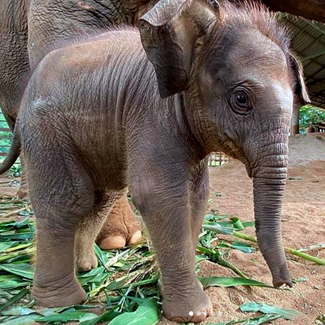 It's heartbreaking that the baby on the left will invetitably become the poor elephant on the right because @ABTAtravel is not concerned about the cruelty involved in making all elephants slaves for tourist enjoyment. Don't support it support @stae_elephants & #ethicaltourism